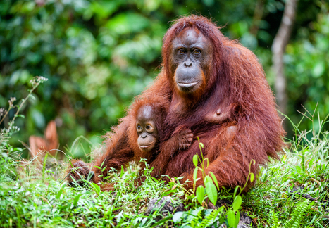 Talkative Orangutan Shows Scientists How Language Evolved - D-brief | Philosophy everywhere everywhen | Scoop.it