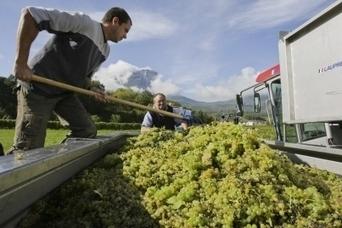 Les vendanges 2013 se préparent - Le Dauphiné Libéré | Le vin quotidien | Scoop.it