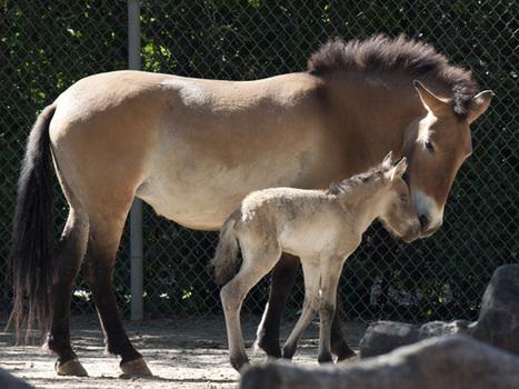 Endangered Horse Foal Born At DenverZoo - CBS Denver | Horse Sense | Scoop.it