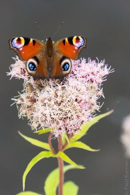 Bretagne - Finistère :  papillons très coopératifs (3 photos) | photo en Bretagne - Finistère | Scoop.it