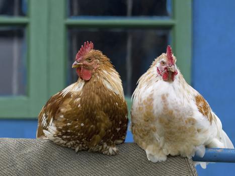 Backyard Chickens: Cute, Trendy Spreaders Of Salmonella : NPR   A Better Food System   Scoop.it