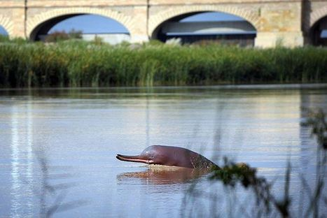 After 29 Million Years, A River Dolphin Faces Risky Future | GarryRogers NatCon News | Scoop.it
