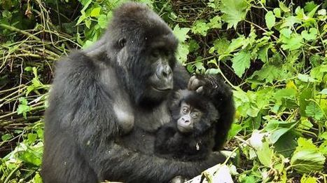Animales en peligro de extinción, ayuda a los últimos gorilas de montaña | Animales en peligro de Extinción | Scoop.it