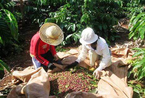 Farmers, exporters of coffee hit by drought - News VietNamNet | Market information | Scoop.it