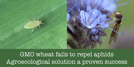 Rothamsted's GMO aphid-repellent wheat trial a £1 million failure | Global Milling | Scoop.it