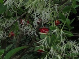 Chionanthus retusus–Chinese Fringetree | Natural Soil Nutrients | Scoop.it