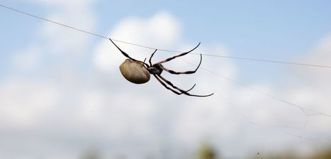 Spider Silk: Nature's Bio-superlens | Biomimicry | Scoop.it
