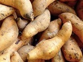 PACIFIQUE : Clues to Prehistoric Human Exploration Found in Sweet Potato Genome | World Neolithic | Scoop.it