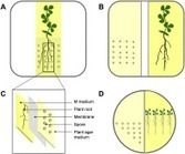 Effect of volatiles versus exudates released by germinating spores of Gigaspora margarita on lateral root formation | Plant-microbe interaction | Scoop.it
