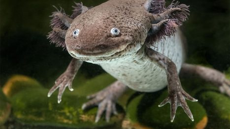 Do humans have the silent potential to regrow their limbs like salamanders? | Amazing Science | Scoop.it