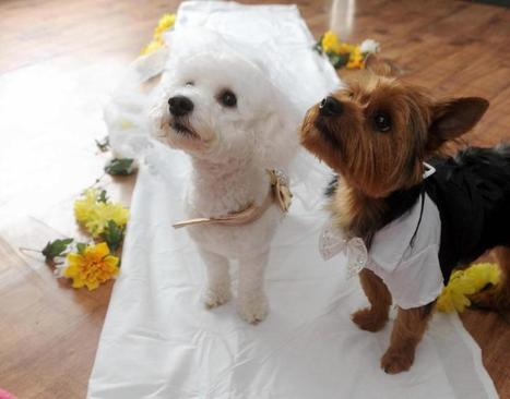 For Better or Woofs: Dogs' owner throws canines a lavish wedding ceremony so they won't be 'living in sin' | Food for Pets | Scoop.it