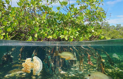 International Day for the Conservation of the Mangrove Ecosystem 2016 | United Nations Educational, Scientific and Cultural Organization | Biodiversity protection | Scoop.it