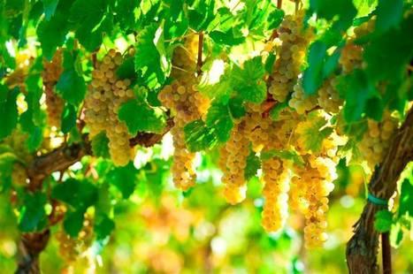 A blogger with the Italian Wine Ambassador certificationcelebrates Verdicchio | Wines and People | Scoop.it
