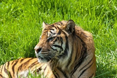 Palm Oil Is Killing the Sumatran Tiger | The natural world | Scoop.it