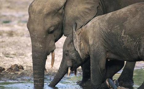 L'avenir des éléphants d'Afrique au cœur d'un sommet au Botswana   Tourisme et chasse   Scoop.it