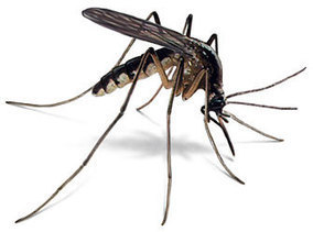 Why Mosquito cannot spread HIV/AIDS | LastMD Wellness Channel | Scoop.it