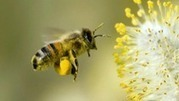 Earth Focus: Neonicotinoids: The New DDT? | Abeilles, intoxications et informations | Scoop.it