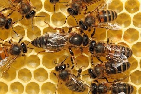 Honeybees in East Africa Resist Deadly Pathogens | Bees and Beekeeping | Scoop.it