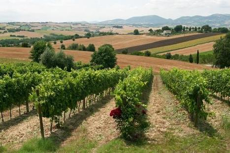 Italian Wine Regions: Marche | Wines and People | Scoop.it