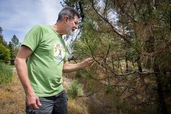 Fungus, pests take toll on region's ponderosas - Spokesman.com ... | Forest health | Scoop.it