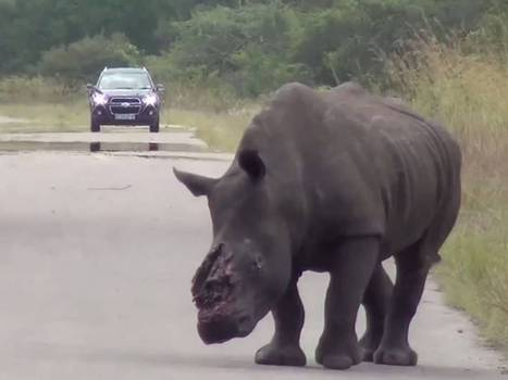 South African rhino finally put down after roaming Kruger park for days with horn hacked off and bullet in brain | Kruger & African Wildlife | Scoop.it