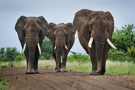 Obama's Bold Move to Stop Elephant Poaching | The Fight for Elephant & Rhino Survival | Scoop.it