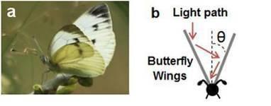 L'énergie solaire sera-t-elle plus efficace grâce à un papillon ? | EntomoNews | Scoop.it