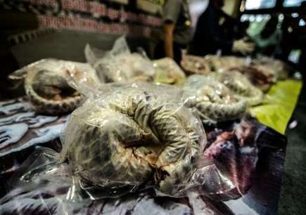 Shy pangolins need world spotlight to survive | Oceans and Wildlife | Scoop.it