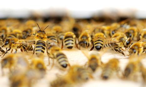 Un néocotinoïde diminue l'immunité des insectes et favorise la réplication d'un virus pathogène chez les abeilles   EntomoNews   Scoop.it
