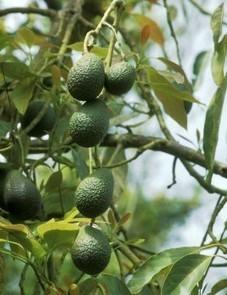 Plantas medicinales. Aguacate (Persea americana) | Aguacate: Persea  americana | Scoop.it