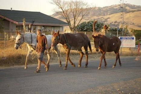 Man and three mules spread message of preservation   Suburban Land Trusts   Scoop.it