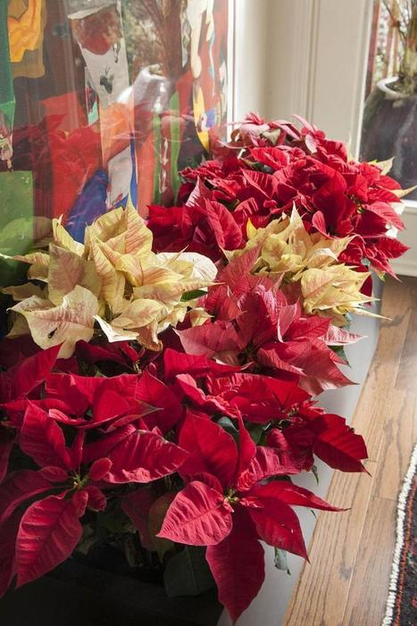 living the good life with chris olsen: the color(s) of christmas | At Home Arkansas | Holly & Ivy - Holiday Cheer & Recipes | Scoop.it