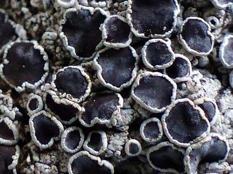 Lichens de Corse - Champignons lichénisés corse - Page 3 | Faaxaal Forum Photos gratuite Faune et Flore | Scoop.it