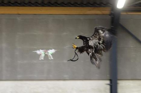 Dutch Police Training Eagles to Take Down Drones | Technology in Business Today | Scoop.it