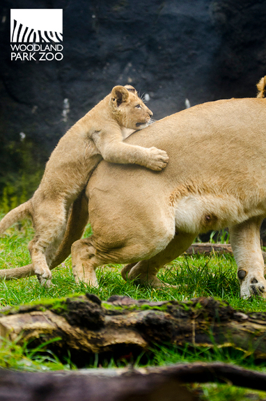 Woodland Park Zoo Blog: Lion cubs discover the outdoors | The Blog's Revue by OlivierSC | Scoop.it