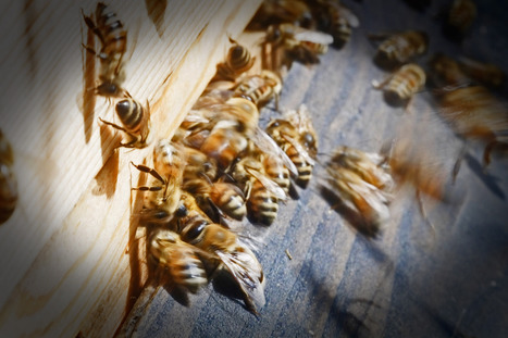 Belgium and France are EU's bee mortality hotspots | EU journalism | Scoop.it