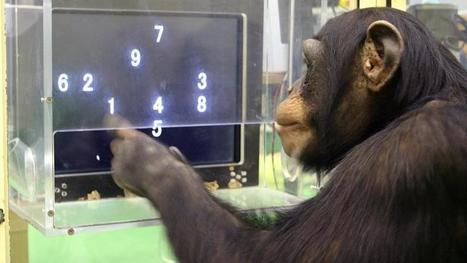Chimpanzees make monkeys of humans in computer game | animals and prosocial capacities | Scoop.it