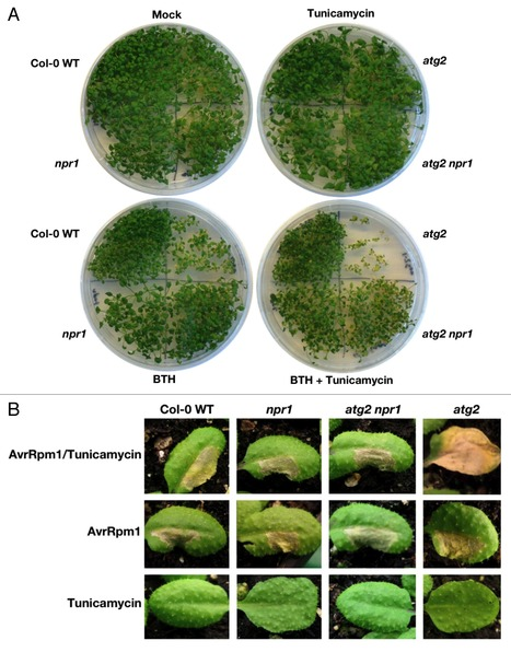 Autophagy deficiency leads to accumulation of ubiquitinated proteins, ER stress, and cell death in Arabidopsis | Health and Wellness | Scoop.it