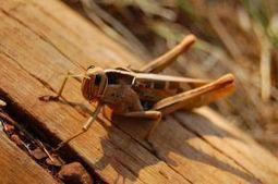 Animals for Kids: Grasshopper | Grasshoppers | Scoop.it