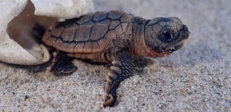 Un nid artificiel après la ponte rarissime d'une tortue à Fréjus | Biodiversité & Relations Homme - Nature - Environnement : Un Scoop.it du Muséum de Toulouse | Scoop.it