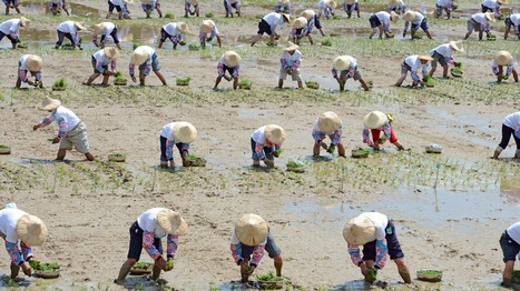 Rice Theory: Why Eastern Cultures Are More Cooperative | Human Geography | Scoop.it