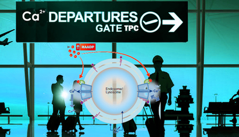 Departure gate of acidic Ca2+ confirmed | Patch Clamp went HTS | Scoop.it