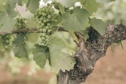 Renewed interest in breeding disease-resistant vines | Food | Scoop.it