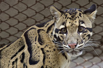 Great Cat Exhibit - National Zoo - Live Lion Camera   Year 7 Science: Endangered Species – Tigers across Asia   Scoop.it