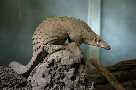 Trade Ban to Protect Pangolins: Enough to Save Them?   Let's End Poaching   Scoop.it