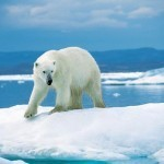 Why Are Polar Bears Endangered | Top 2 Reasons | Conservation of wildlife | Scoop.it