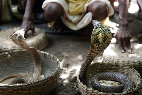 Snake festival charms villagers in east India | Kiosque du monde : Asie | Scoop.it