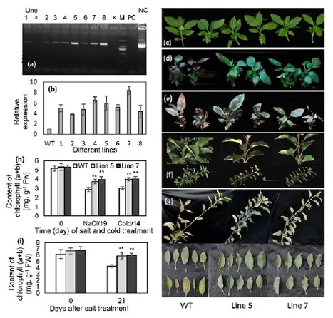 The enhancement of tolerance to salt and cold stresses by modifying the redox state and salicylic acid content via the cytosolic malate dehydrogenase gene in transgenic apple plants - | plant cell genetics | Scoop.it