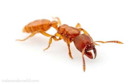 Une nouvelle galerie pour Typhlomyrmex, un genre énigmatique [en anglais]   EntomoScience   Scoop.it