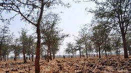 Infestation Threatens Zambia's Maize Crop   MAIZE   Scoop.it